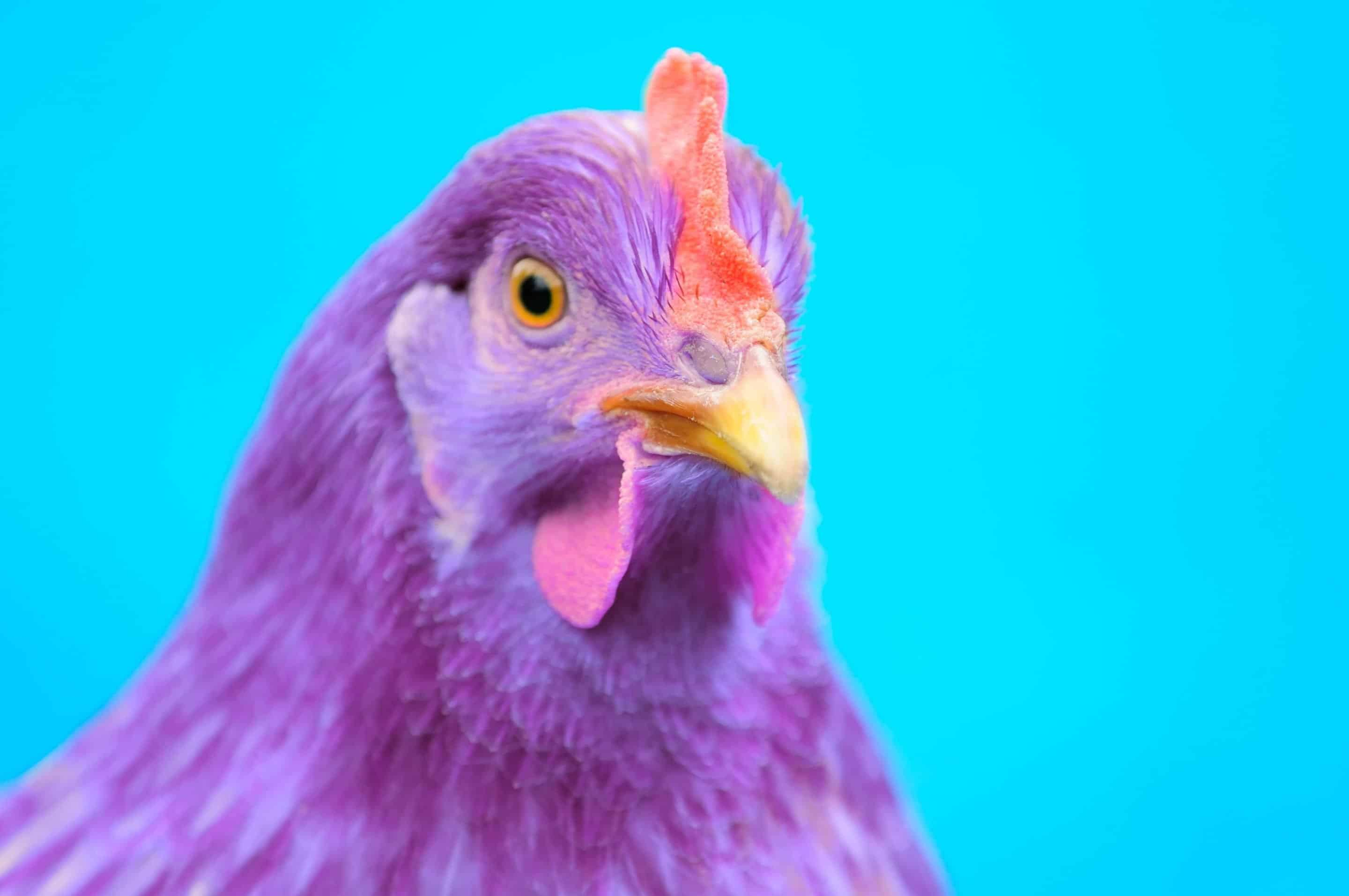 Are You a Purple Chicken?